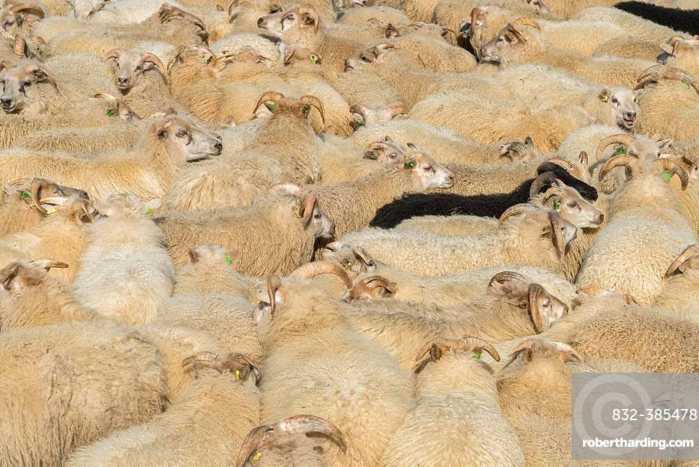 Sheep (Ovis aries) stand densely packed in a pen, sheep drive or Rettir, near Laugarbakki, North Iceland, Iceland, Europe