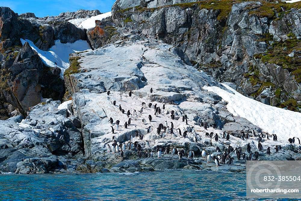 Gentoo penguins (Pygoscelis papua), colony on rocks, Antarctica