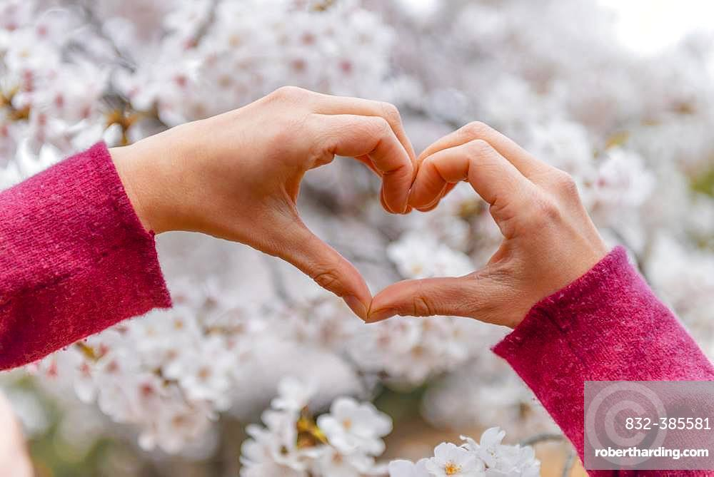Hand shapes a heart, blooming cherry blossoms, cherry blossom in spring, Tokyo, Japan, Asia