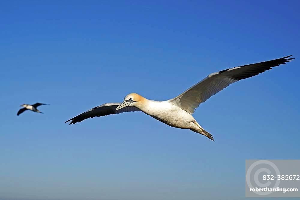 Northern gannet (Sula bassana) flying, Helgoland, Schleswig-Holstein, Germany, Europe