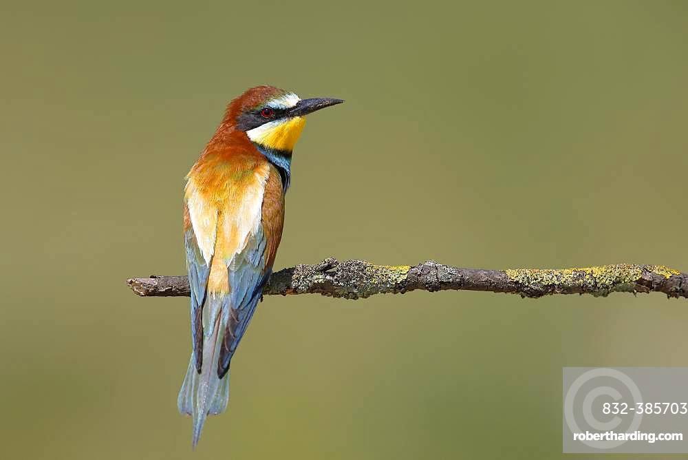 European bee-eater (Merops apiaster) sits on branch, National Park Lake Neusiedl, Burgenland, Austria, Europe