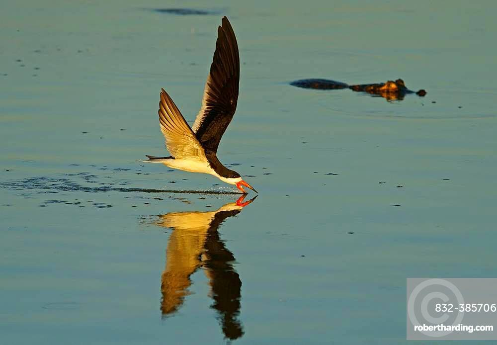 Black Skimmer (Rynchops niger) in flight fishing, crocodile in the back, Pantanal, Mato Grosso do Sul, Brazil, South America
