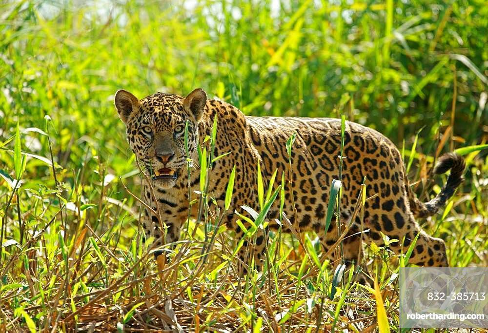 Jaguar (Panthera onca), with view into the camera, Pantanal, Mato Grosso, Brazil, South America