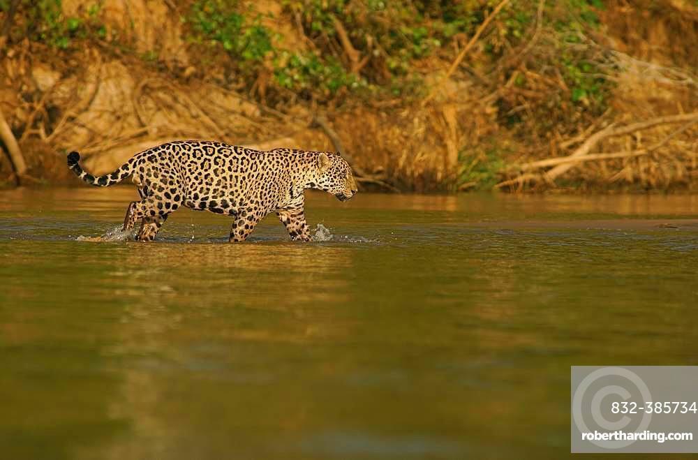 Jaguar (Panthera onca) running in river, Pantanal, Mato Grosso, Brazil, South America