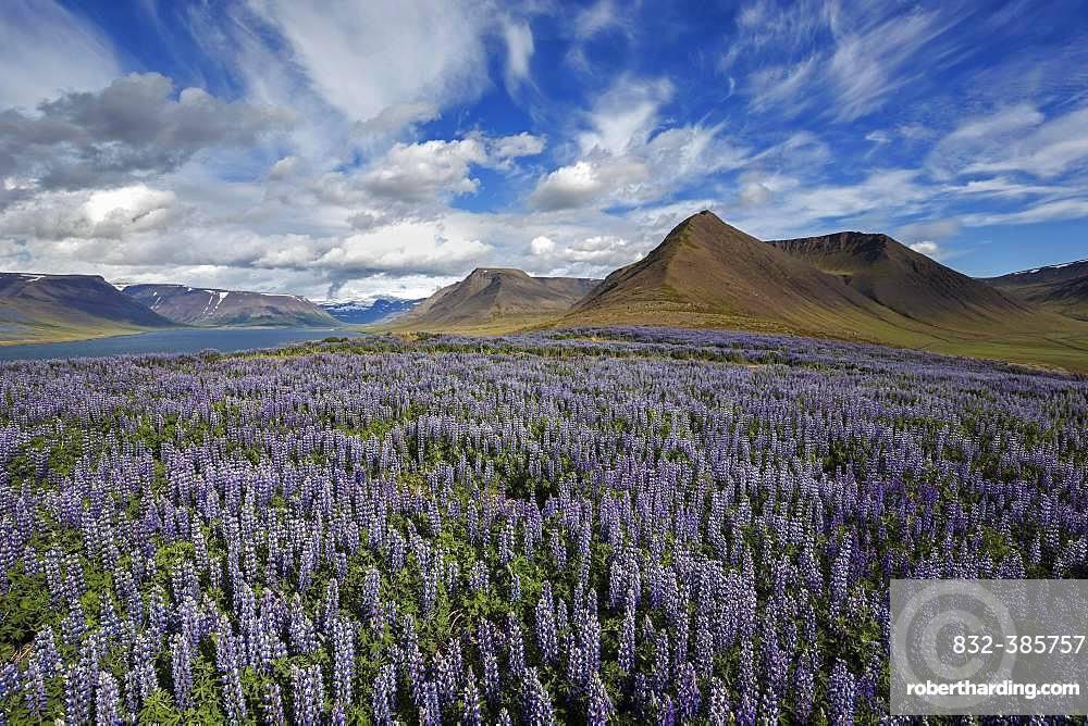 View on fjord landscape, blue flowering Nootka lupins (Lupinus nootkatensis) in front, cloud formation. near Pingeyri, Westfjorde, Iceland, Europe