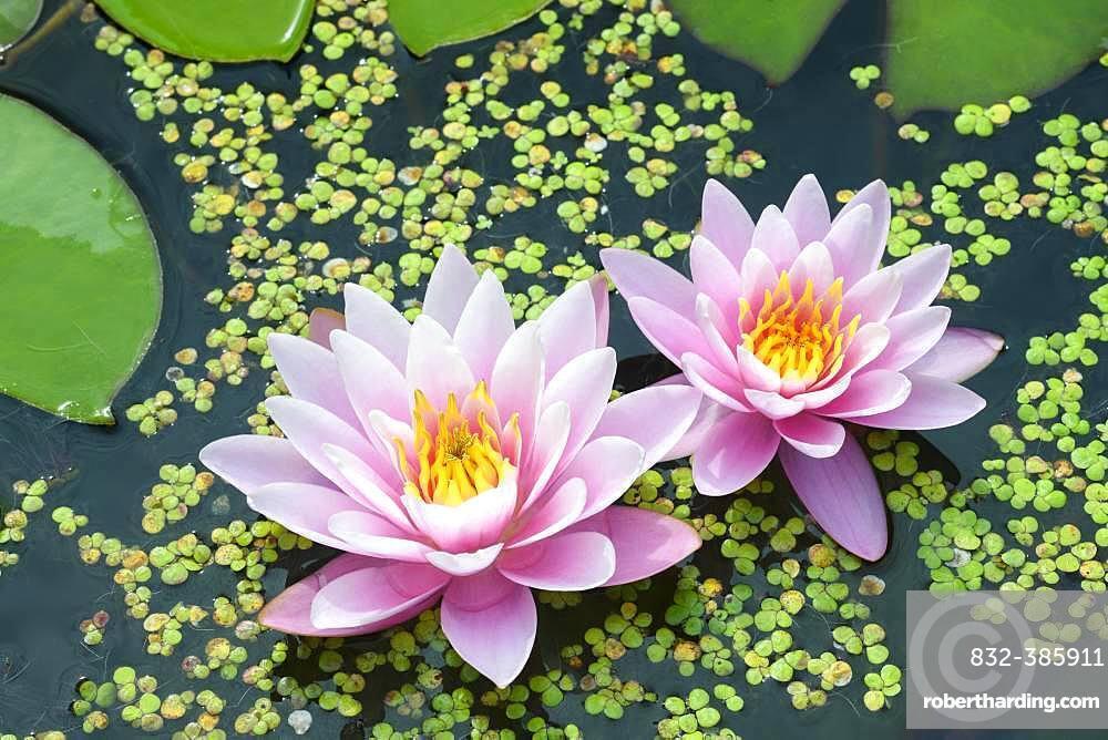 Pink water lilies (Nymphaea Pink), variety Beauty, between duckweeds, Baden-Wuerttemberg, Germany, Europe