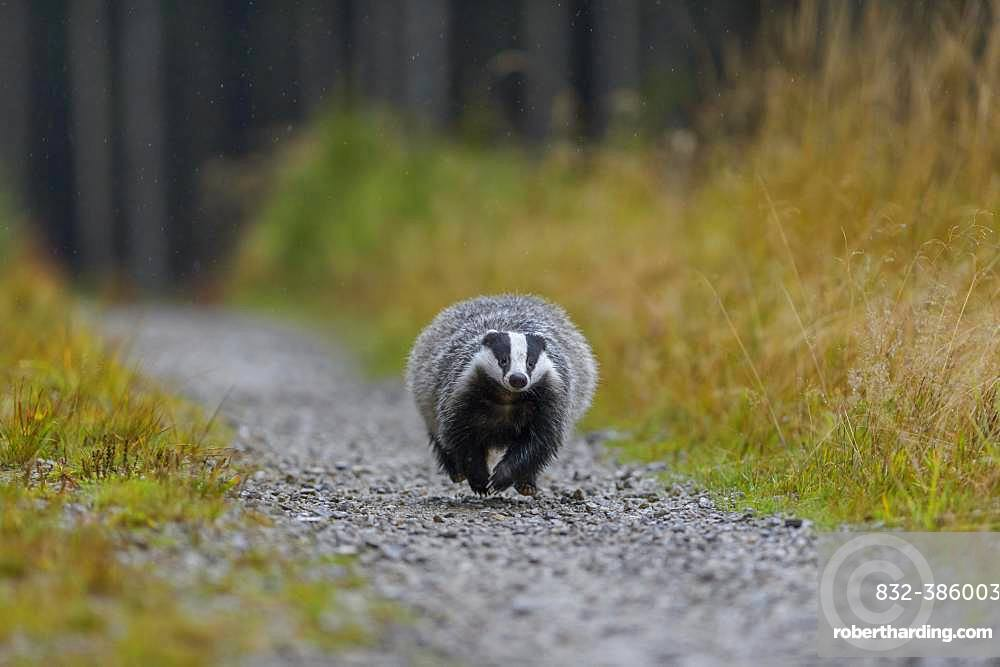European badger (Meles meles), runs on a forest road in rain, Sumava National Park, Bohemian Forest, Czech Republic, Europe