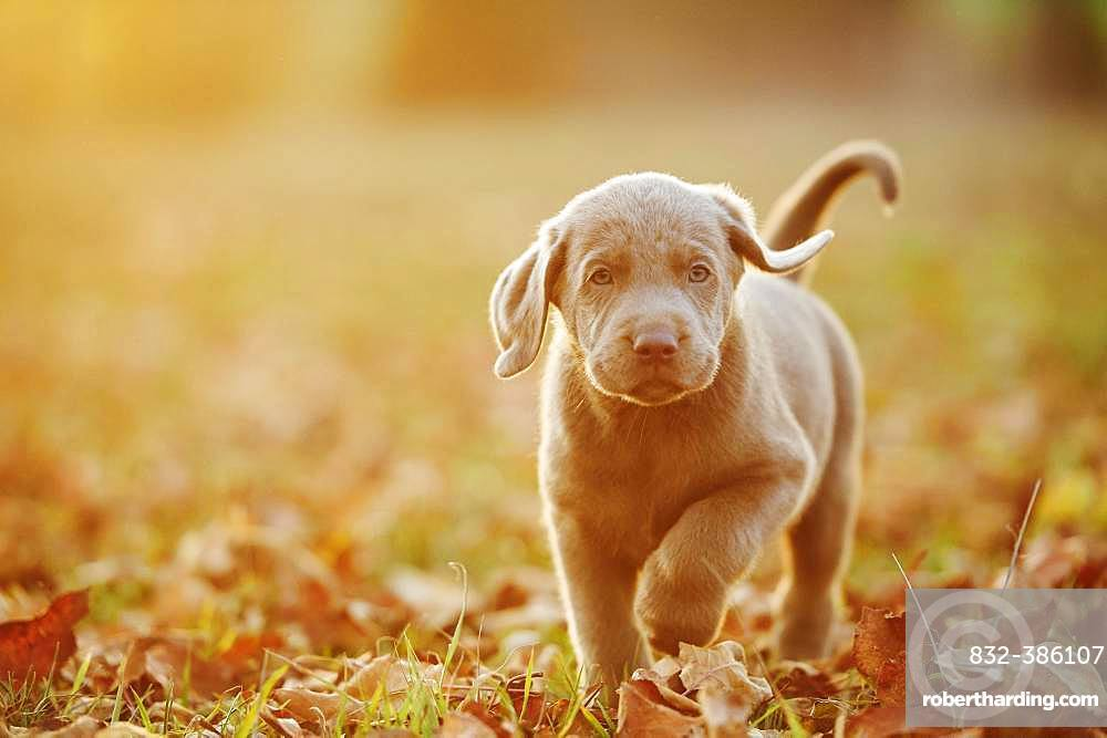 Labrador Retriever puppie walking on a meadow in autumn, Germany, Europe