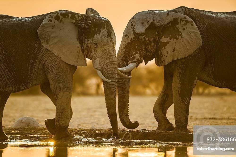 Two African elephants (Loxodonta africana) at a waterhole, Nxai Pan National Park, Ngamiland, Botswana, Africa