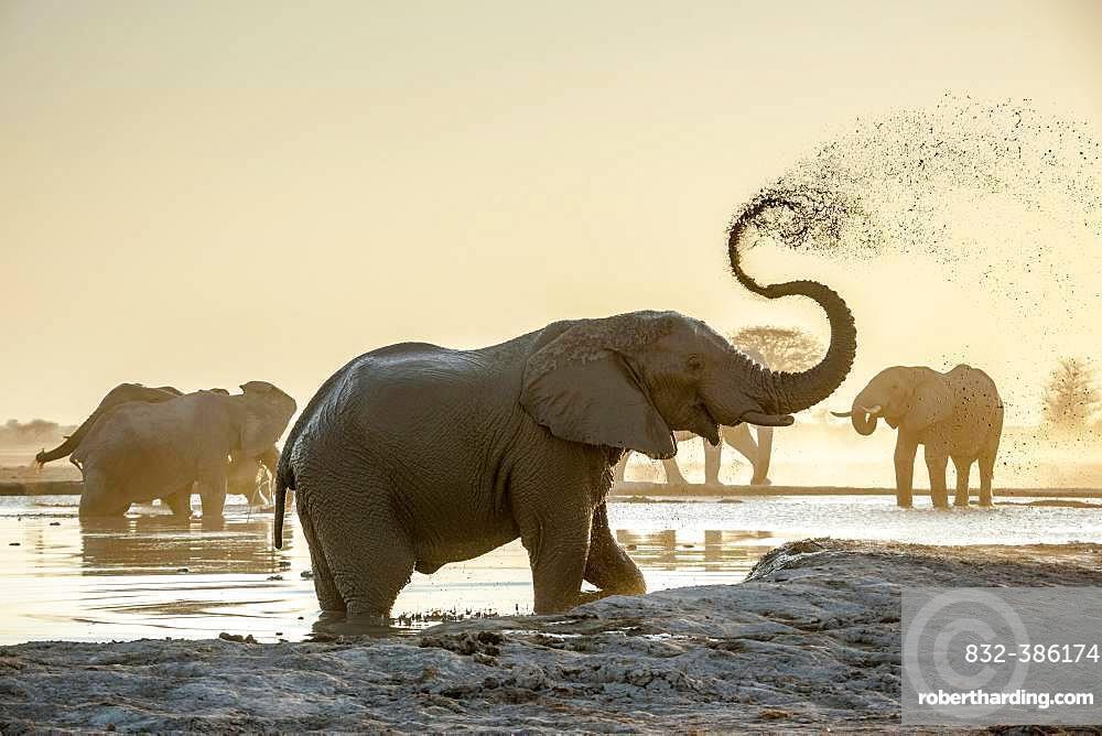 African elephants (Loxodonta africana), sprayed with mud at a waterhole, Nxai Pan National Park, Ngamiland, Botswana, Africa