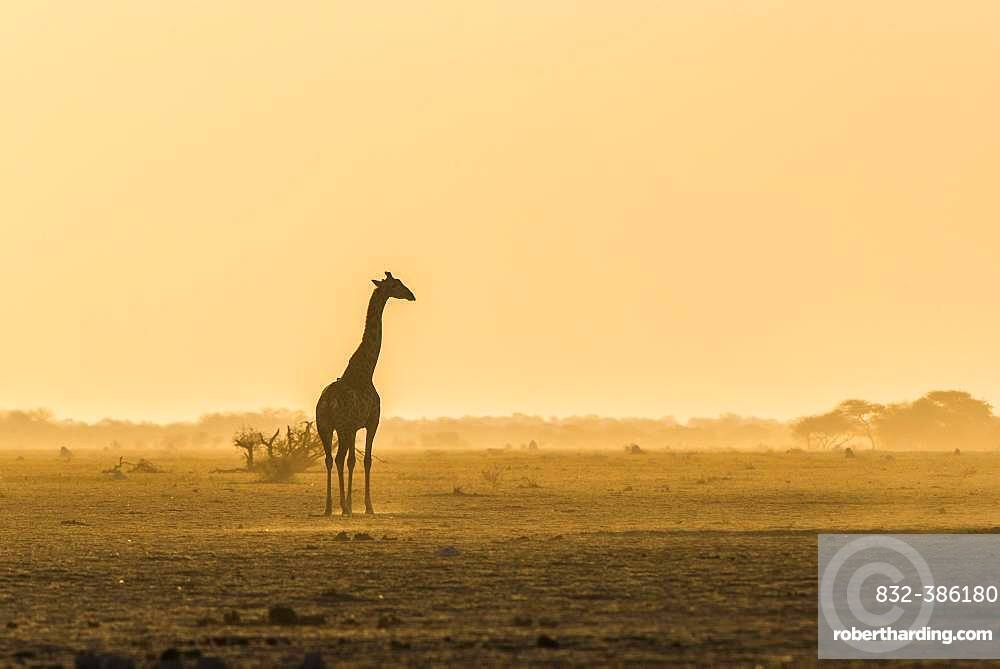 A Angolan Giraffe (Giraffa camelopardalis angolensis) stands in the evening light in the dusty savannah, Nxai Pan National Park, Ngamiland, Botswana, Africa