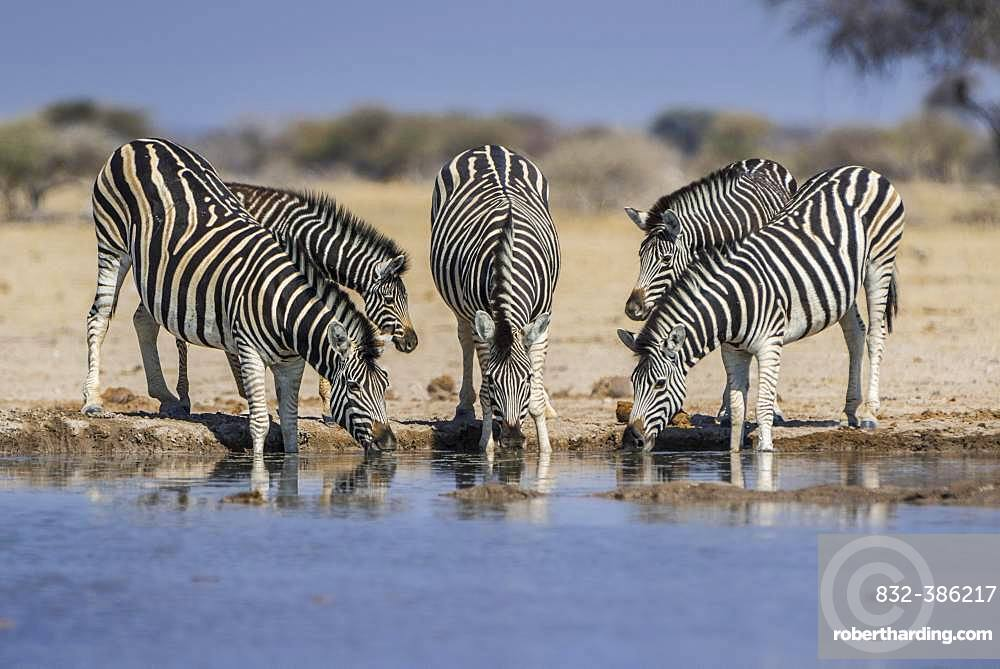 Burchell's Zebras (Equus quagga burchelli), animal group with young animals drinking at a waterhole, Nxai Pan National Park, Ngamiland, Botswana, Africa