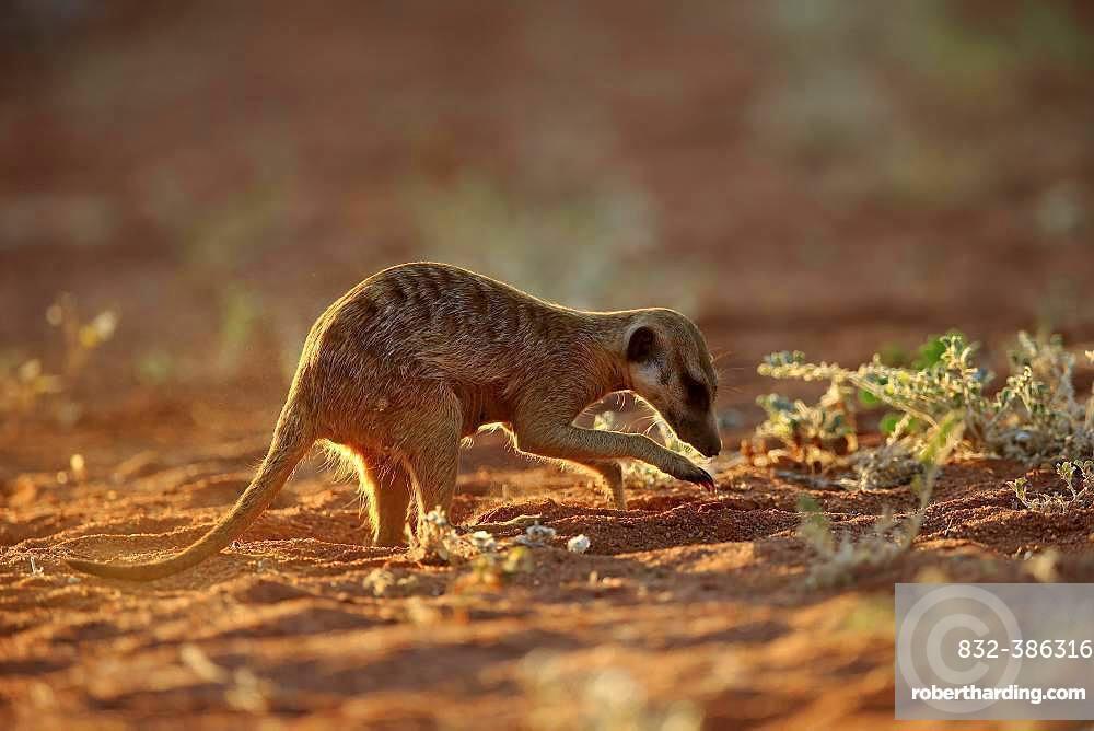 Meerkat (Suricata suricatta), adult, digging for food, foraging, Tswalu Game Reserve, Kalahari, North Cape, South Africa, Africa