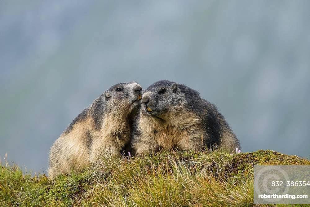 Alpine Marmots (Marmota marmota), greet each other, Grossglockner, Hohe Tauern National Park, Carinthia, Austria, Europe