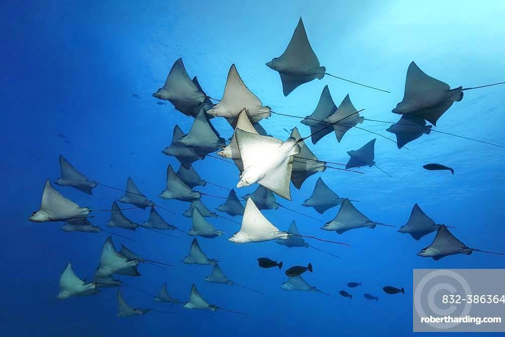 Swarm Spotted eagle ray (Aetobatus narinari), Great Barrier Reef, Unesco World Heritage Site, Pacific, Australia, Oceania