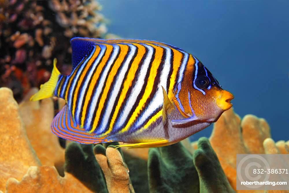 Royal angelfish (Pygoplites diacanthus), Great Barrier Reef, Unesco World Heritage Site, Pacific, Australia, Oceania