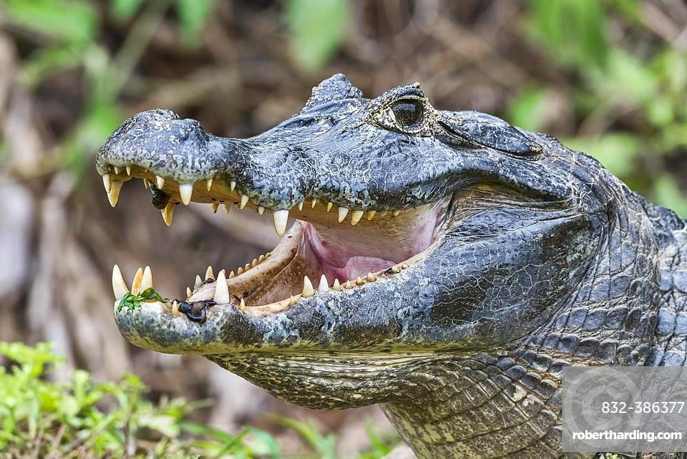 Spectacled caiman (Caiman crocodilus yacare), open mouth with leeches, animal portrait, Pantanal, Mato Grosso, Brazil, South America