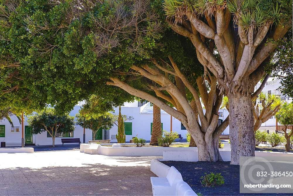 Laurel and dragon trees, Plaza San Roque, Tinajo, Lanzarote, Canary Islands, Spain, Europe