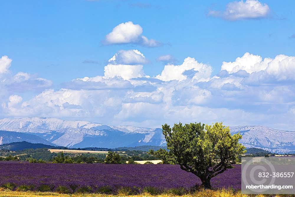 Lavender field and sunflower field, Plateau de Valensole, Valensole, Provence, Haute-Provence, Southern France, France, Europe