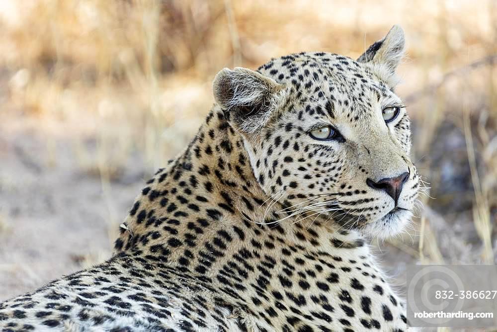 Leopard (Panthera pardus), animal portrait, Etosha National Park, Namibia, Africa