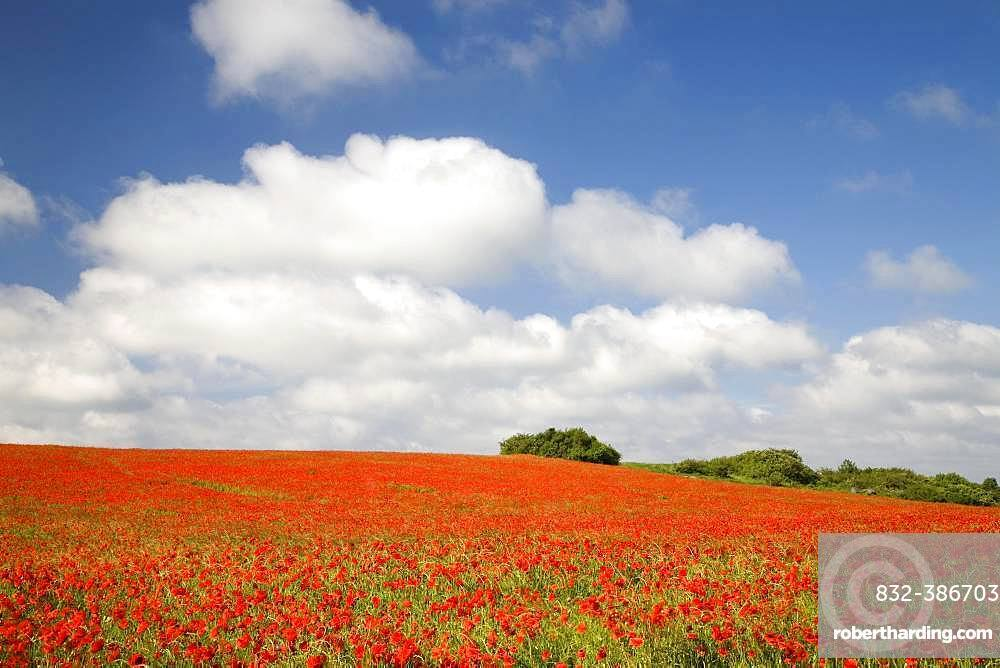 Blooming poppy field on the island of Ruegen, Mecklenburg-Western Pomerania, Germany, Europe