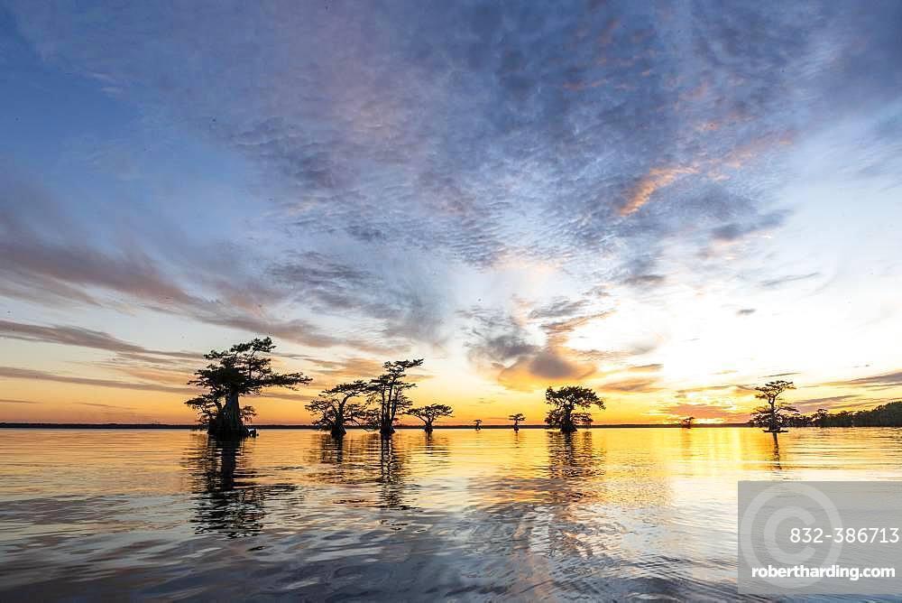 Bald cypresses (Taxodium distichum) in water at sunset, Atchafalaya Basin, Louisiana, USA, North America