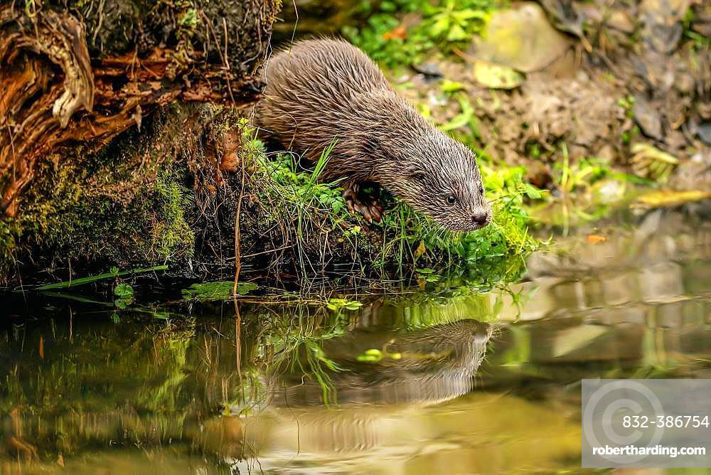 European otter (Lutra lutra), young animal standing on the bank of a pond, captive, Switzerland, Europe