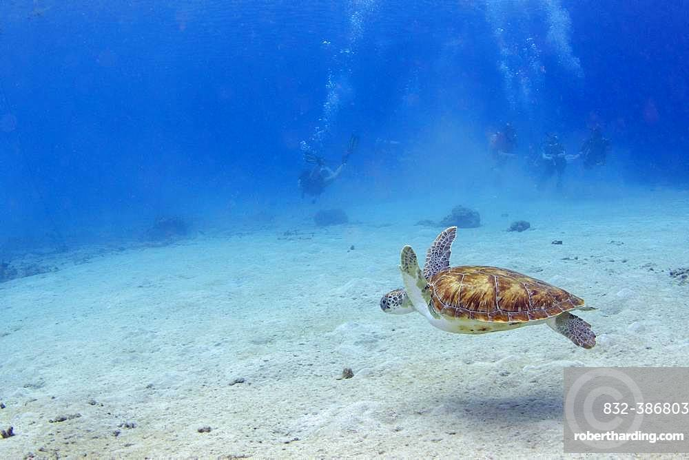 Green turtle (chelonia mydas) and divers at Playa Grandi, West Curacao, Curacao, South America