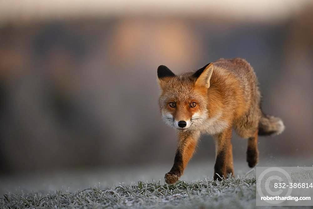 Red fox (Vulpes vulpes) running at hoarfrost in winter, Eifel, Rhineland-Palatinate, Germany, Europe