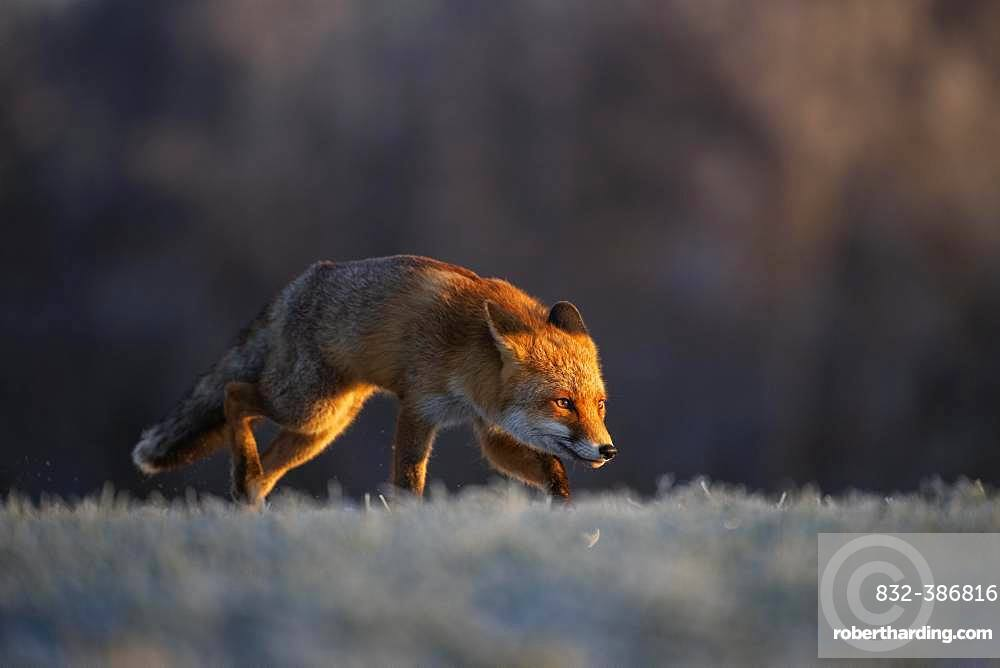 Red fox (Vulpes vulpes) laces in winter at hoarfrost, Eifel, Rhineland-Palatinate, Germany, Europe