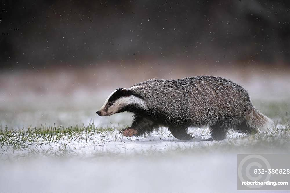 European badger (Meles meles) runs over snowy meadow during snowfall, Eifel, Rhineland-Palatinate, Germany, Europe