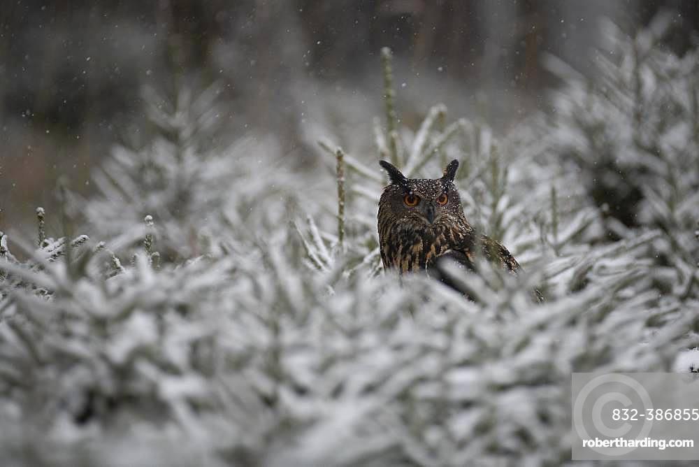Eurasian eagle-owl (Bubo bubo) sitting in snowy conifers during snowfall, Eifel, Germany, Europe
