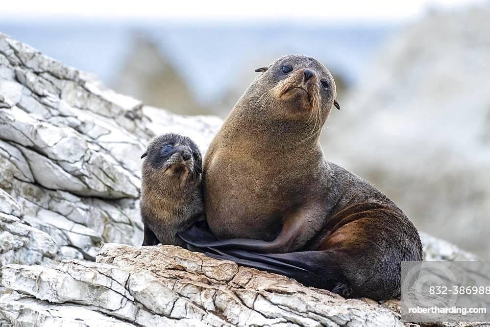 New Zealand fur seals (Arctocephalus forsteri), dam with young on rock, Kaikoura, Canterbury, South Island, New Zealand, Oceania