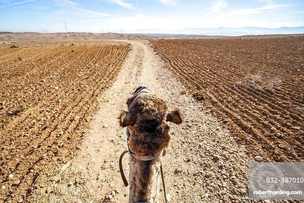 Riding a dromedary (Camelus dromedarius) on Agafay desert, Marrakech, Morocco, Africa
