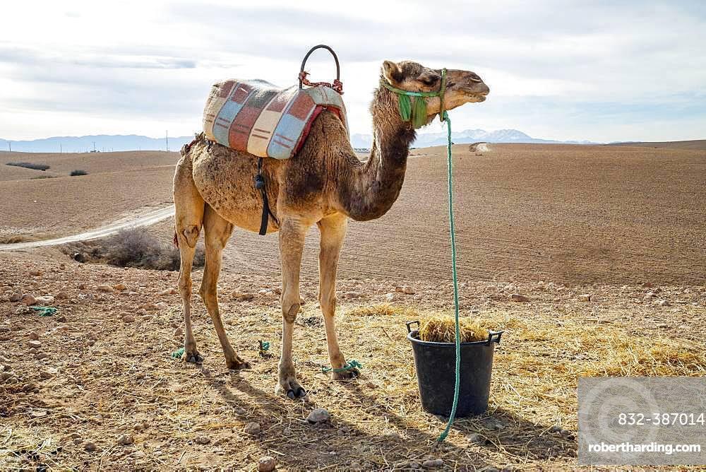 Dromedary (Camelus dromedarius) on Agafay desert, Marrakech, Morocco, Africa