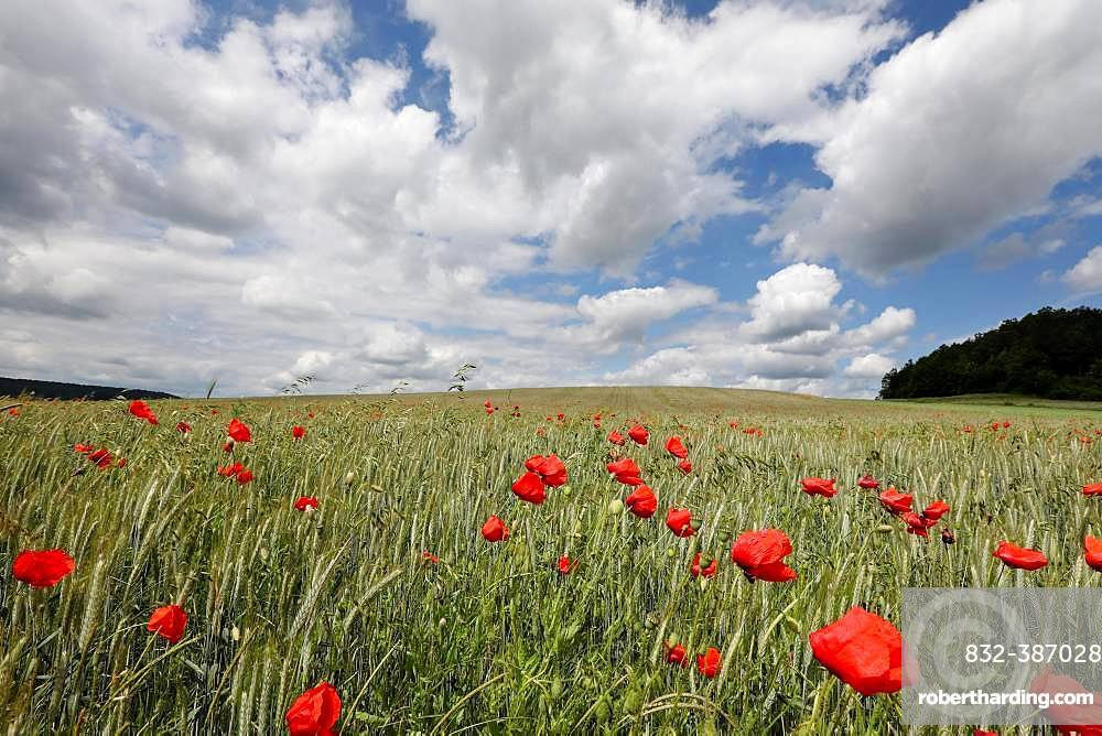 Grain field with poppy blossoms near Trappstadt, Grabfeld, Lower Franconia, Bavaria, Germany, Europe