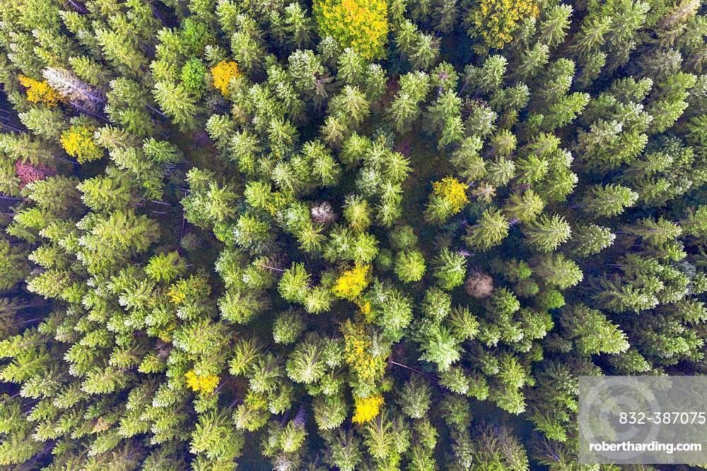 Autumn mixed forest from above, near Kruen, drone shot, Upper Bavaria, Bavaria, Germany, Europe