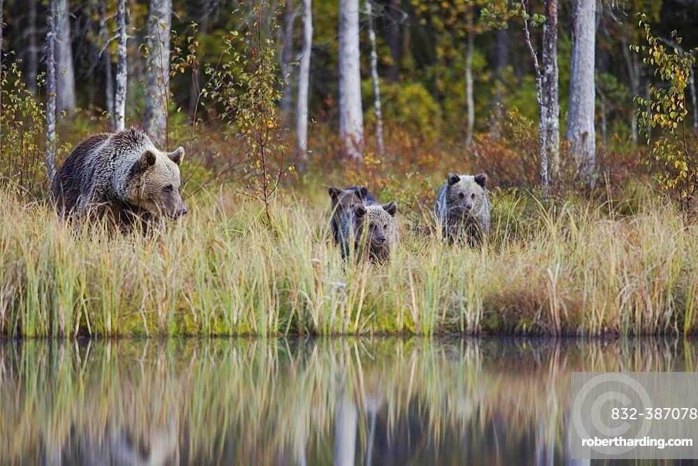Brown bear (Ursus arctos), mother with young in the autumnal taiga, Kuhmo, Finland, Europe