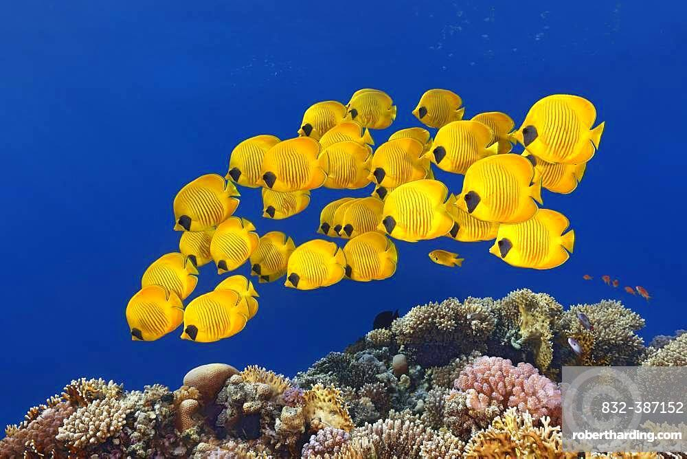 Swarm Bluecheek butterflyfishes (Chaetodon semilarvatus), Red Sea, Egypt, Africa
