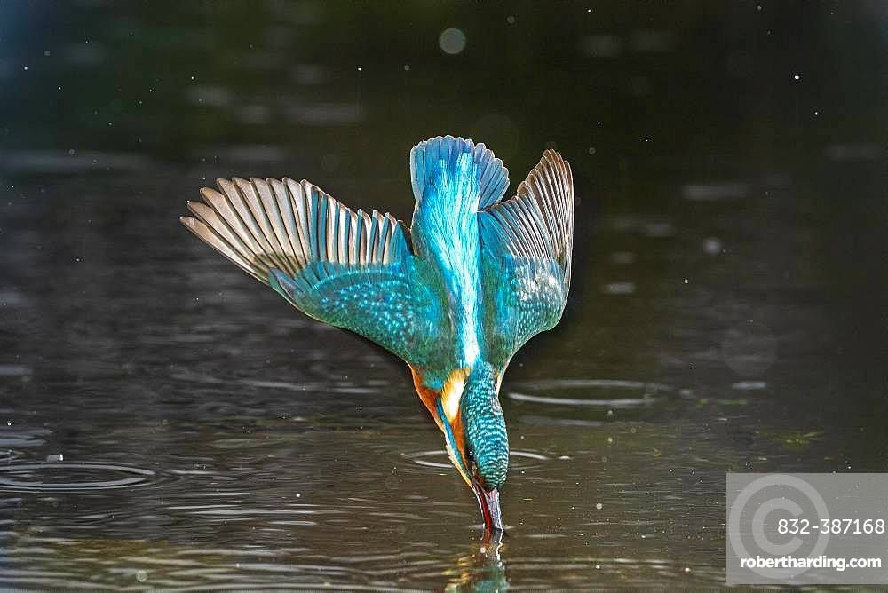 Common kingfisher (Alcedo atthis), immerses, Hesse, Germany, Europe