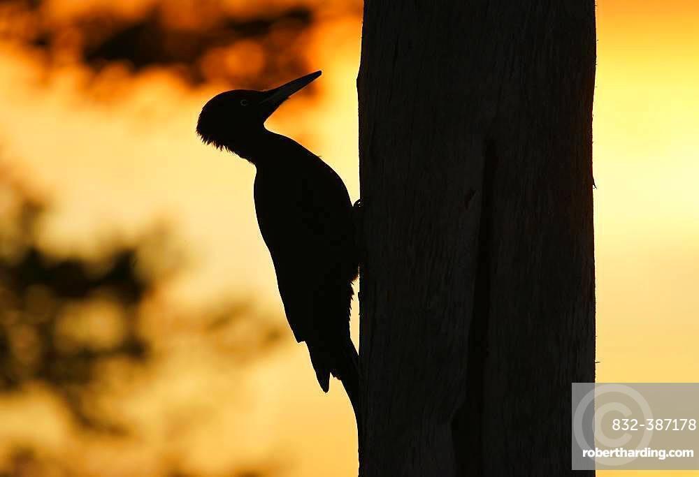 Black woodpecker (Dryocopus martius) on tree trunk, Kuusamo, Finland, Europe