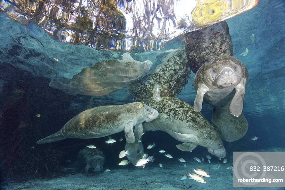 West Indian manatee (Trichechus manatus), family, bull, cow, and calf, Three Sisters Springs, Manatee Sanctuary, Crystal River, Florida, USA, North America