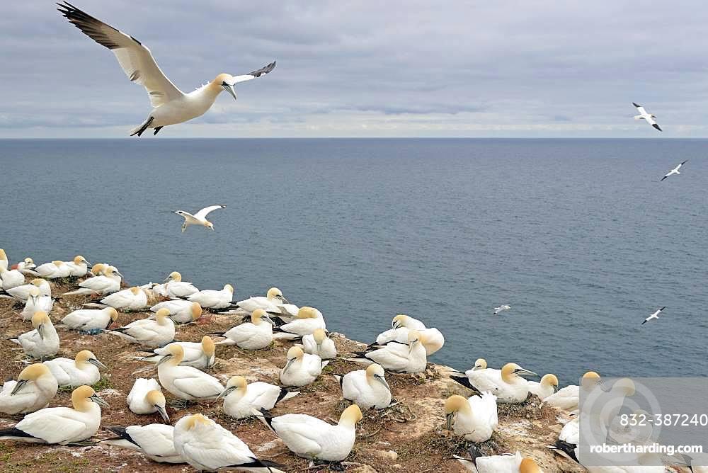 Northern gannet (Morus bassanus), breeding colony at Lummen Rock, Heligoland, North Sea, Schleswig-Holstein, Germany, Europe