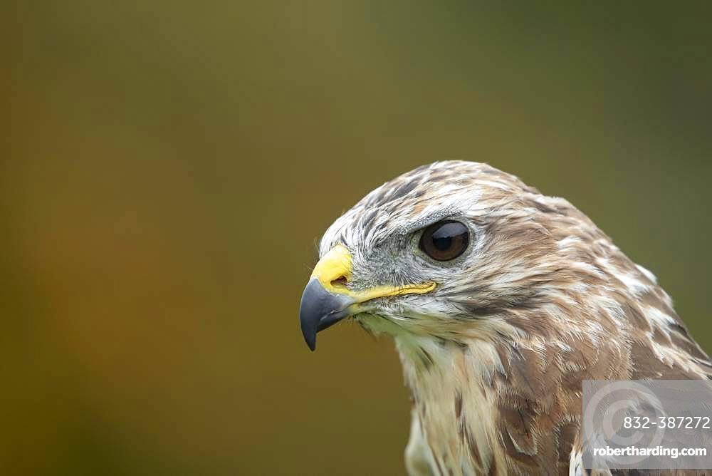 Common buzzard (Buteo buteo), adult, animal portrait, Scotland, United Kingdom, Europe