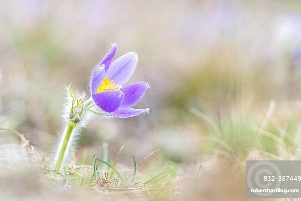 Pasque flower (Pulsatilla vulgaris) in a meadow, Lower Austria, Austria, Europe