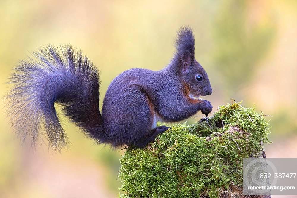 Eurasian red squirrel (Sciurus vulgaris), dark phase, sitting on a mossy tree stump, Tyrol, Austria, Europe