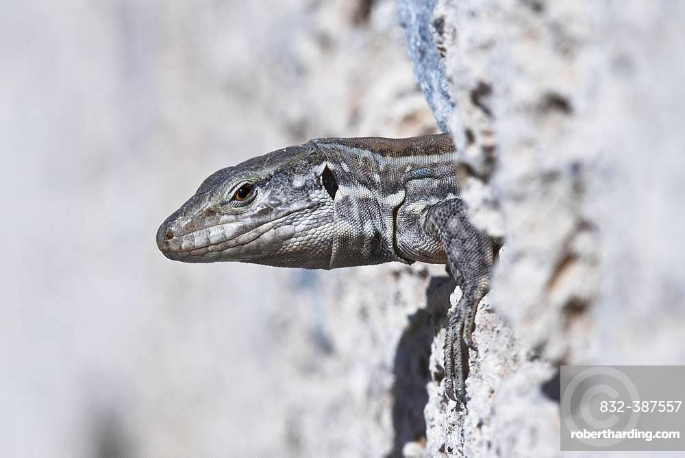 Canary Islands lizard (Gallotia), Tenerife, Spain, Europe