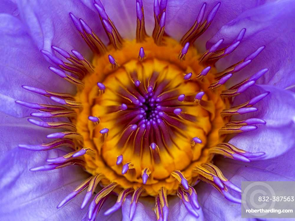 Water lily (Nymphaea) in bright purple; botanical garden Terra Nostra; Furnas; San Miguel; Azores; Poltugal