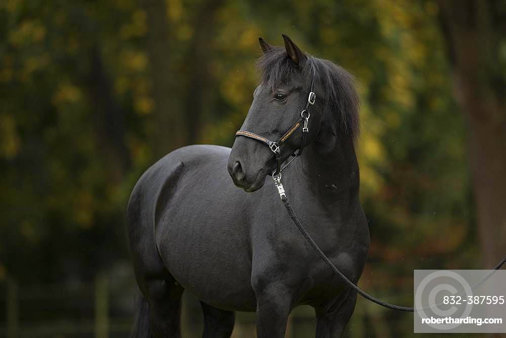 Pura Raza Espanola black horse in autumn, Traventhal, Germany, Europe