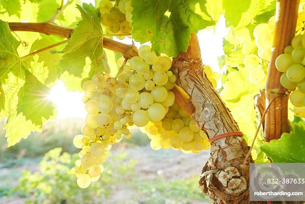 Ripe green grapes on a vine, Catalonia, Spain, Europe